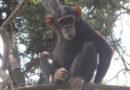 Les chimpanzés menacés d'extinction dans le parc national de la Lomami au Maniema