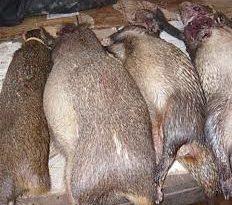 Le CIFOR lance une campagne de sensibilisation pour réduire la demande de viande de brousse à Kisangani
